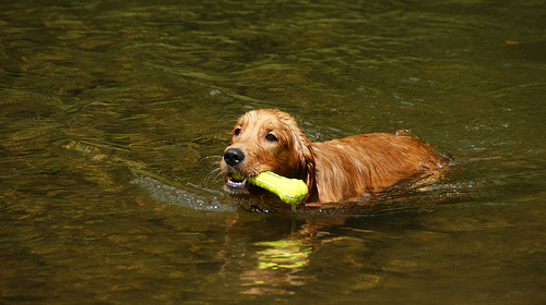 Dog swimming games make it fun dog training guide dog swimming games solutioingenieria Images